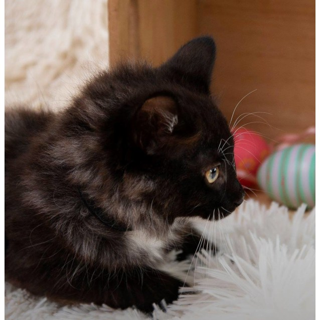 Photo of Mellow Puff **2nd Chance Cat Rescue**