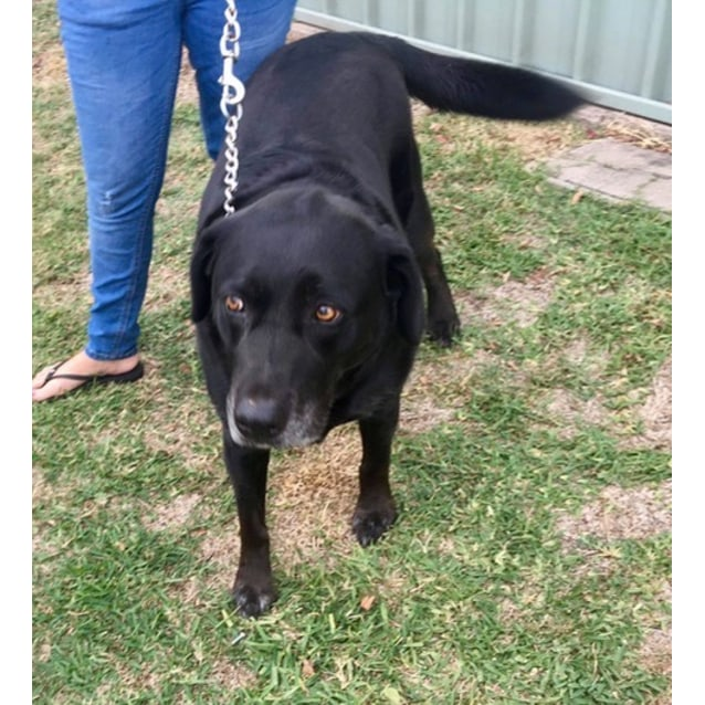 Photo of Jett ~ Labrador X (On Trial 21/5/19)