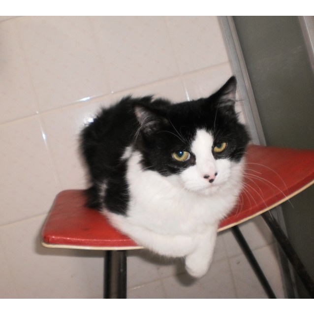 Photo of Uno ** 2nd Chance Cat Rescue**