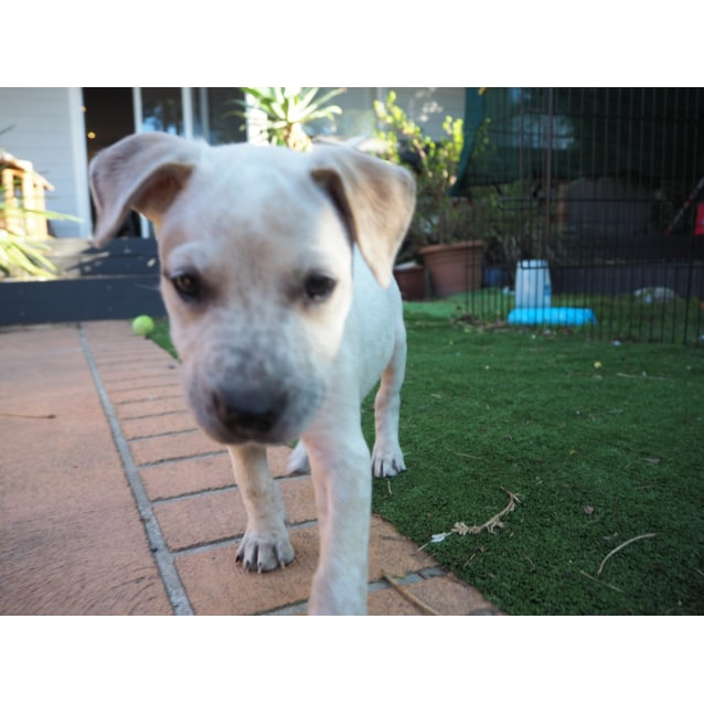 Photo of Harley ~ Staffy X Cattle Dog (On Trial 19/5/19)