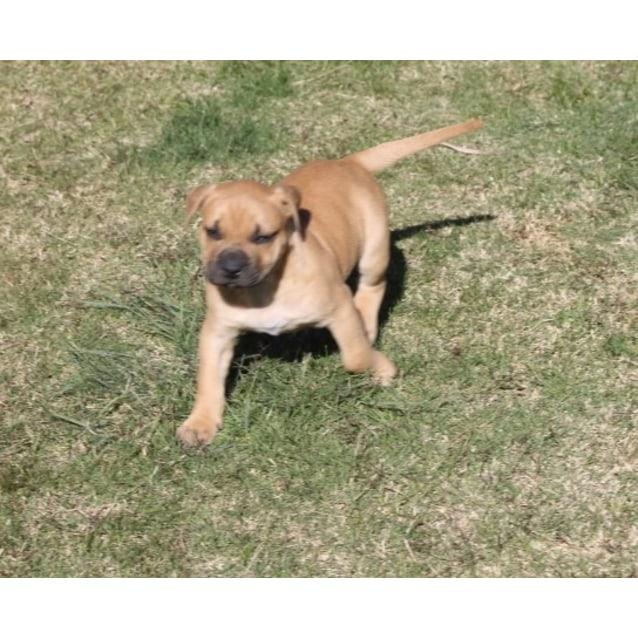 Photo of Puppy Cleo Dl2130