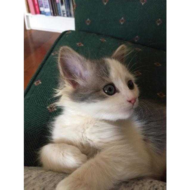 Photo of Roxy ^^Dandy Cat Rescue^^