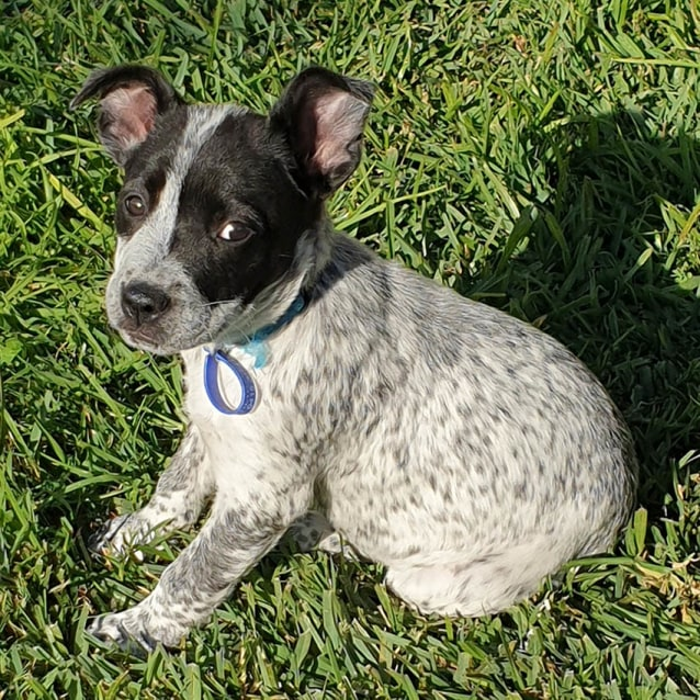 Photo of Chloe ~ Cattle X Puppy (On Trial 21/5/19)