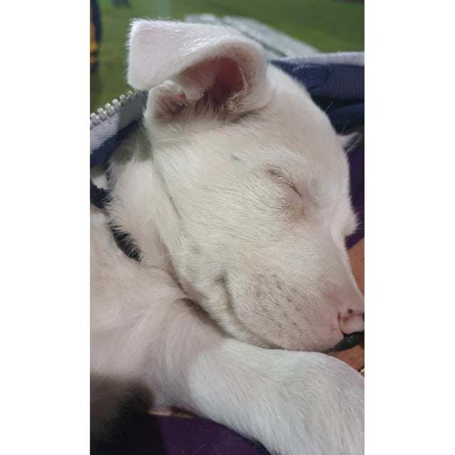 Photo of Otto ~ Sweet Cattle X Puppy