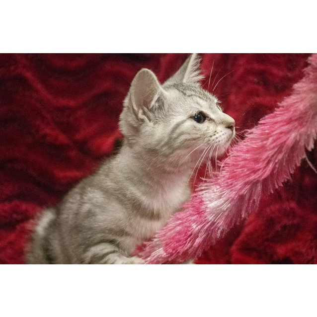 Photo of Agnetha ^^Dandy Cat Rescue^^