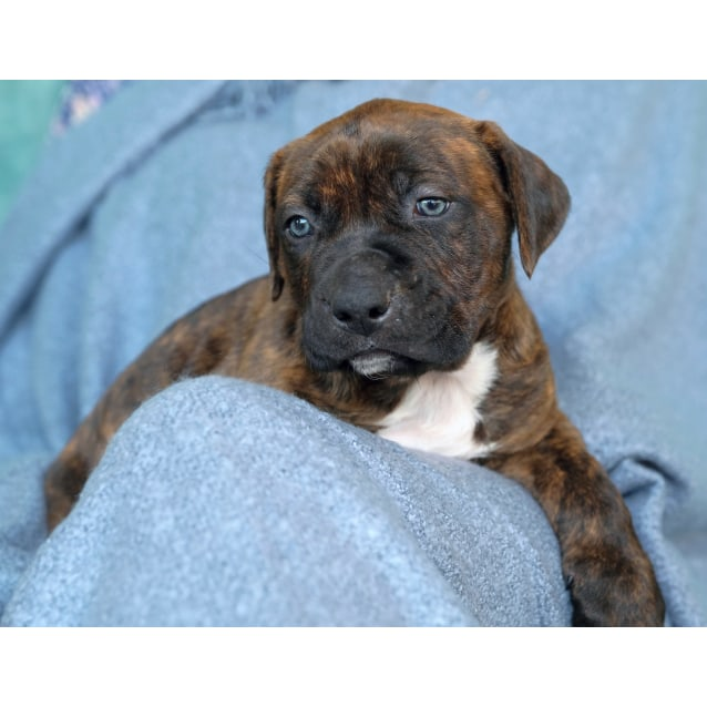 Photo of Puppy Bruce Dl2125