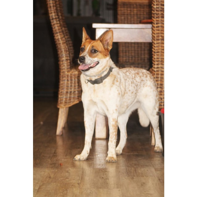 Photo of Bonnie ~ 1 Year Old Cattle Dog X