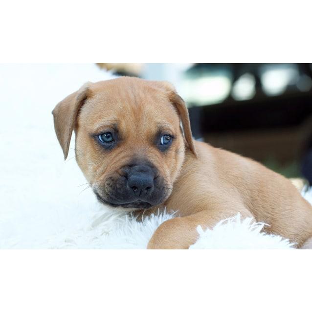 Photo of Puppy Linus Dl2128