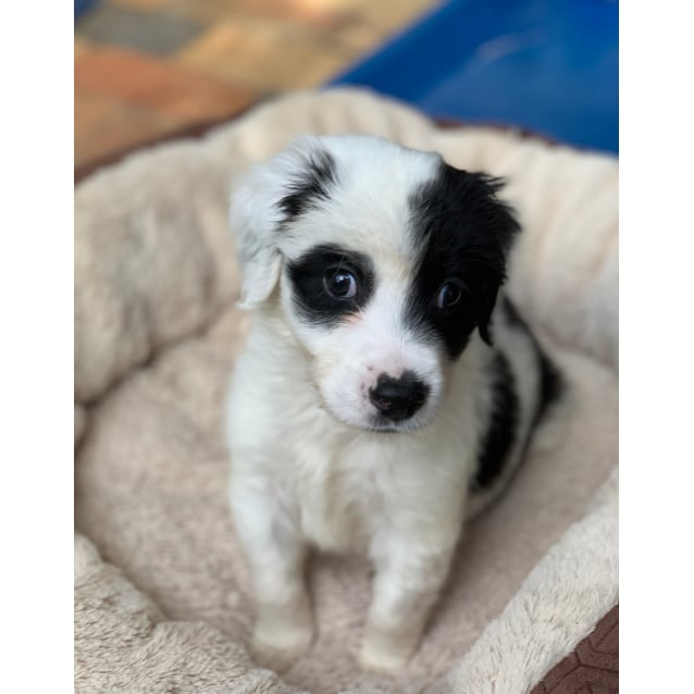 Stevie Wonder Small Male Border Collie X Maltese Mix Dog