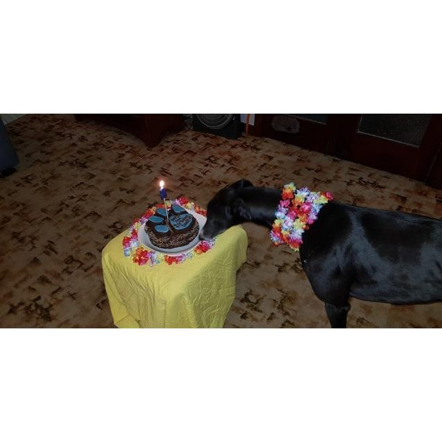 Photo of Snaffles ~ 2yo Greyhound (On Trial 5/8/19)