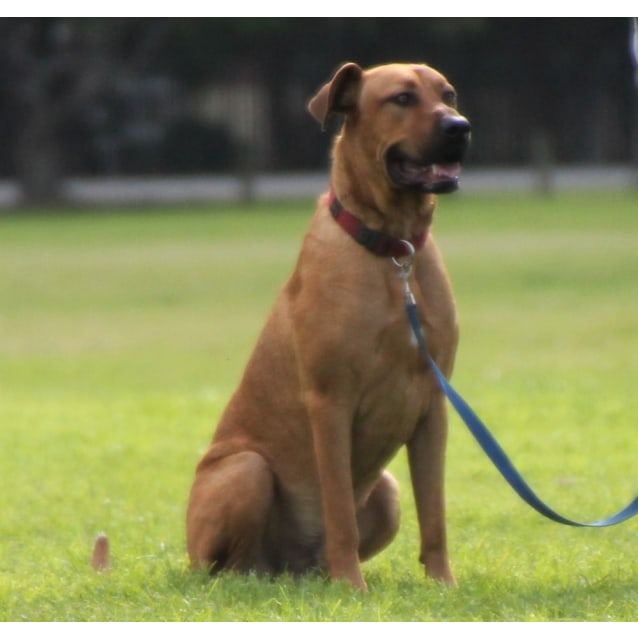 Photo of Duke ~  Ridgeback X  (On Trial 30/5/19)