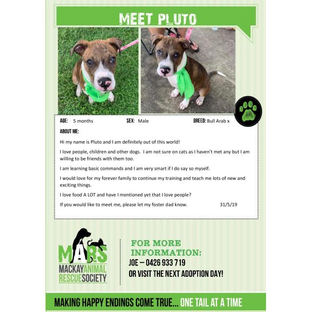Pluto - Medium Male Bull Arab Mix Dog in QLD - PetRescue