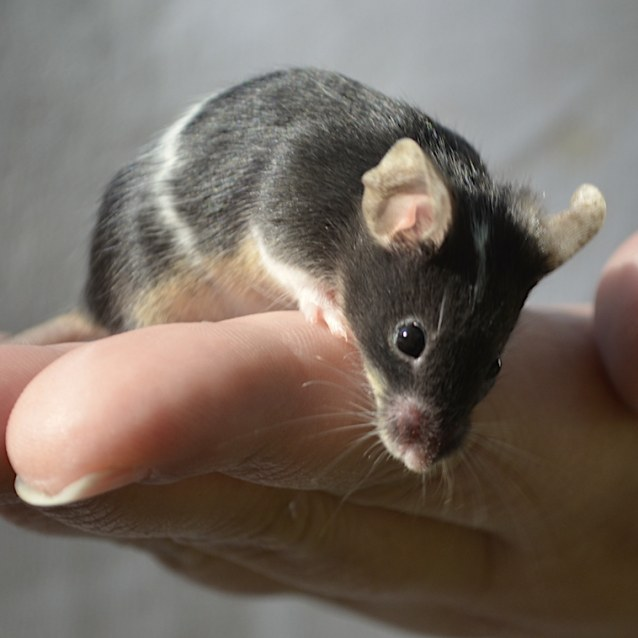 Photo of Female Mice