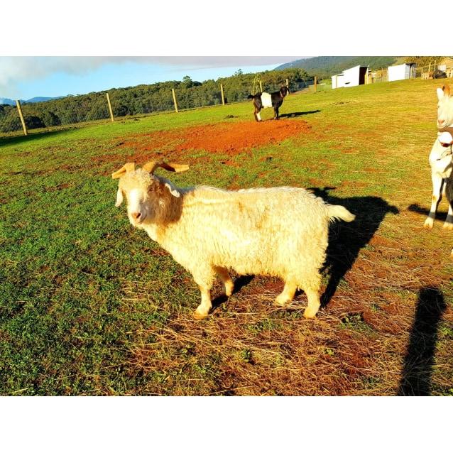 Photo of Bronty & Buddy   Goaty Friends!