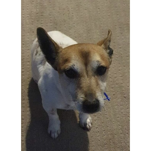 Photo of Simba ~ Jack Russell X Foxie (On Trial 30/8/19)