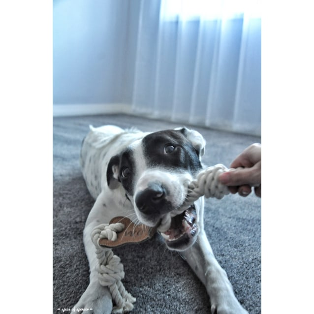 Photo of Miley ~ German Shorthaired Pointer X