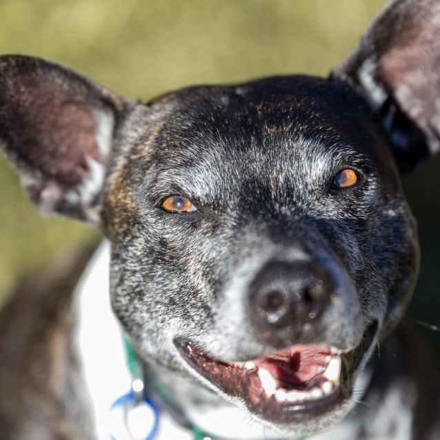 Photo of Bean ~ 5 Year Old Staffy X