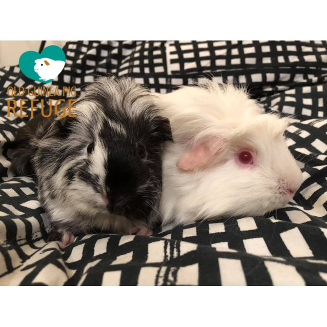 Photo of George (Desexed Male) And Peppa