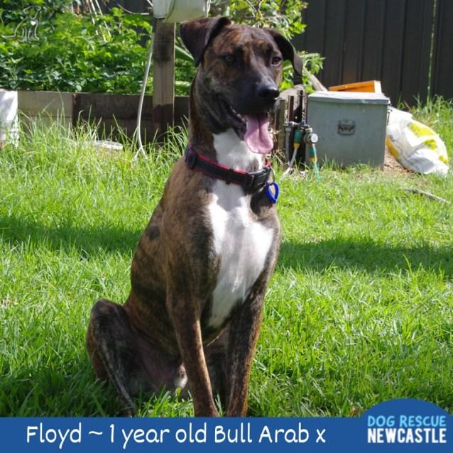 Photo of Floyd ~ 1 Year Old Bull Arab X