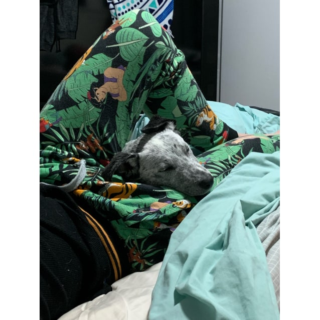Photo of Gracie ~ Staffy X Cattle X Wolfhound Puppy