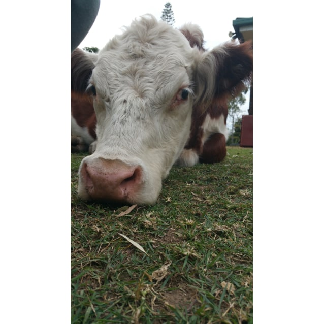 Photo of Pet Cows And Steers