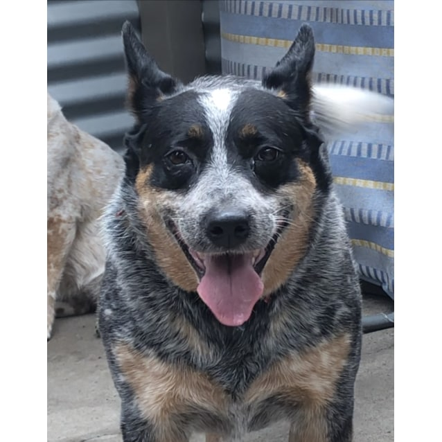 Photo of Evie ~ 5 Year Old Blue Heeler