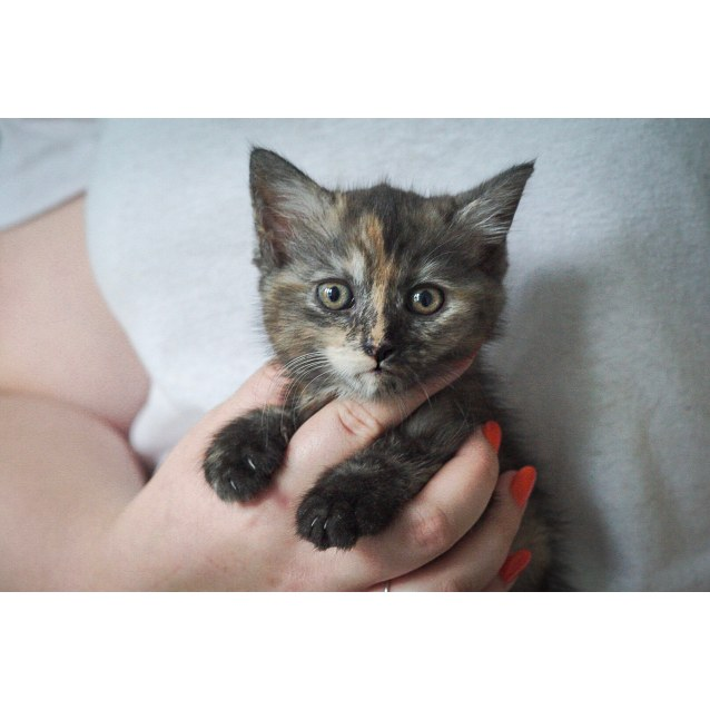 Photo of Myrtle ~ 7 Week Old Female Kitten