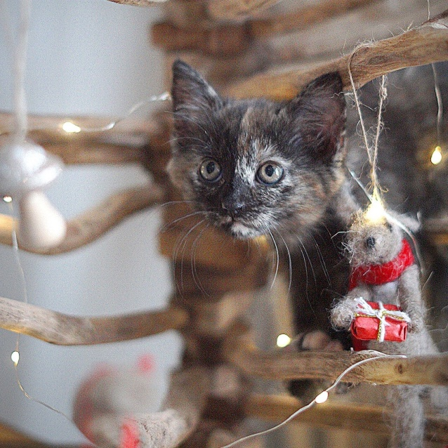 Photo of Meryl ~ 7 Week Old Female Kitten