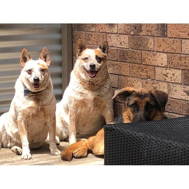Photo of Rusty ~ 1yo German Shepherd X Great Dane