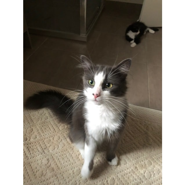 Photo of Fluffy One (Pappa Bear) **2nd Chance Cat Rescue**