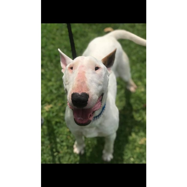 Photo of Bronson   Nsw Bull Terrier Rescue