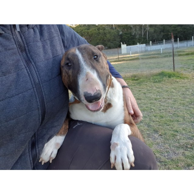 Photo of Diesel  Nsw Bull Terrier Rescue