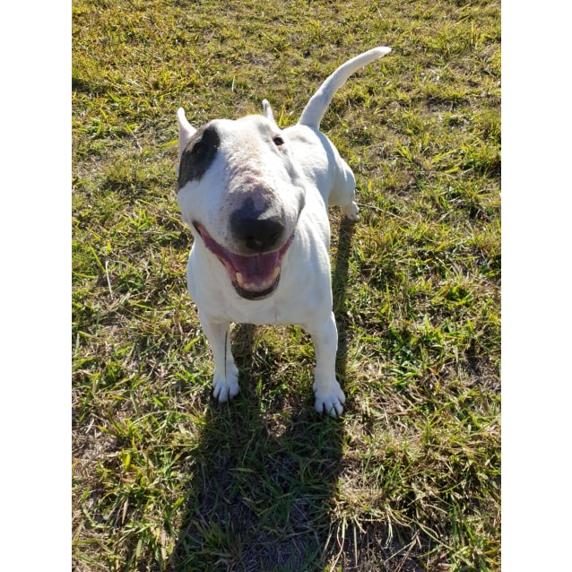 Photo of Ivy   Nsw Bull Terrier Rescue