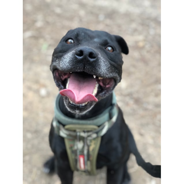 Photo of Zeus ~ 7 Yr Old Staffy