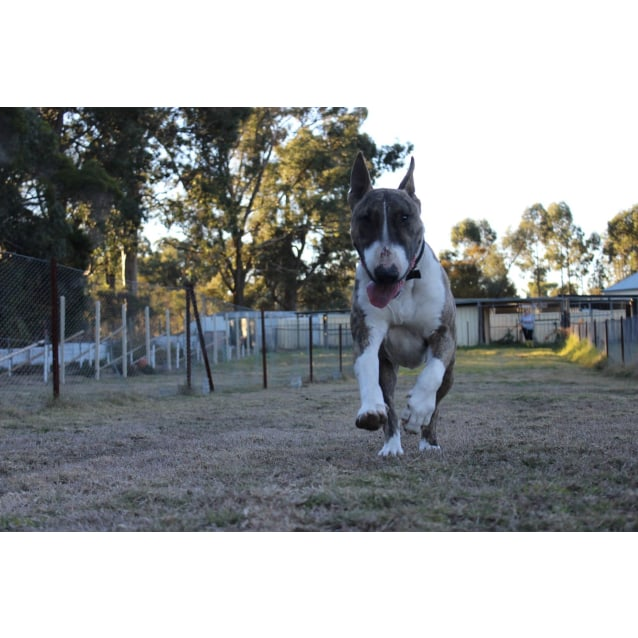 Photo of Mj   Nsw Bull Terrier Rescue