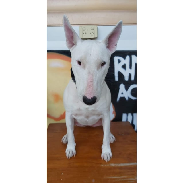 Photo of Siia   Nsw Bull Terrier Rescue