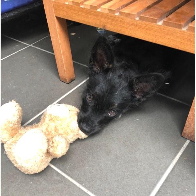 Photo of Sage ~ 14 Wk Cattle Dog X Pom X Poodle Puppy
