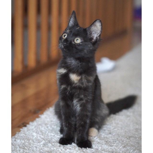 Photo of Latte ~ Sweet Female Tortoiseshell Kitten