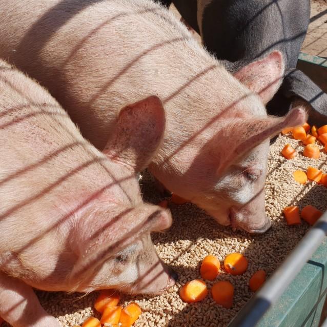 Photo of Pedro Pig