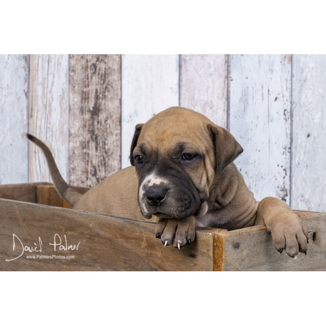 Photo of Puppy Bacon Dl2357