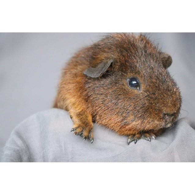 Photo of Guinea Pigs