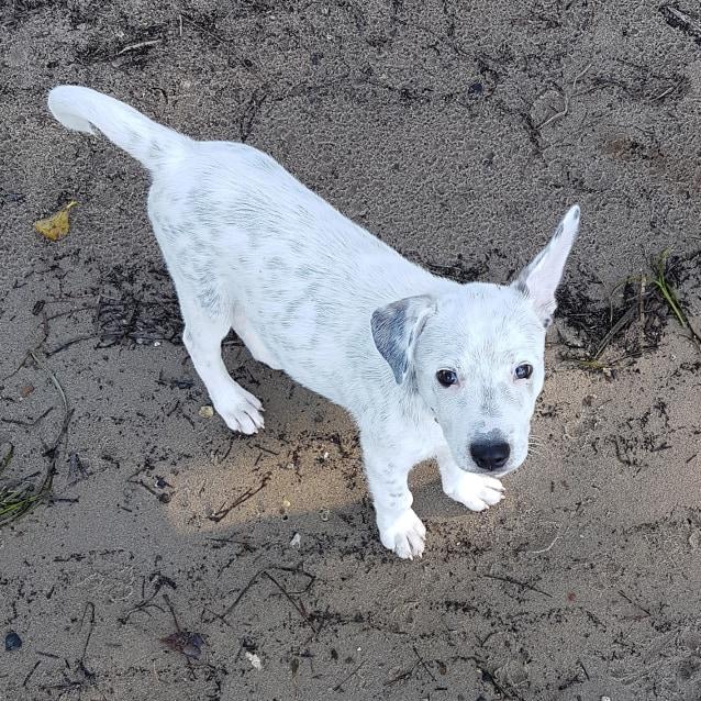 Photo of Spud ~ Sweet Cattledog X Puppy