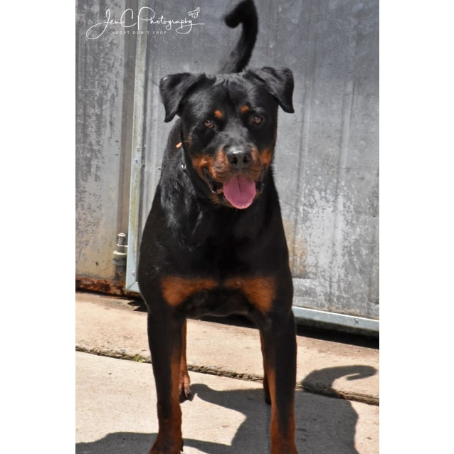 Photo of Rusty * Pure Rottweiler*