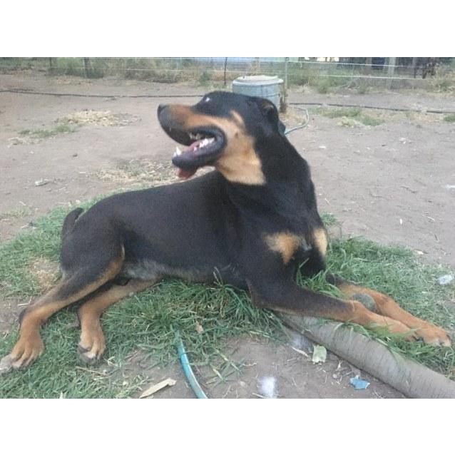 Photo of Niklaus   Rottweiler X