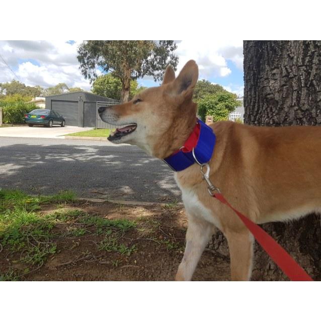 Photo of Buckley  Dingo