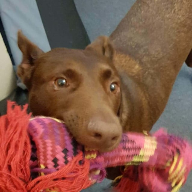 Photo of Ted ~ Loving 6yo Stumpy Tailed Red Kelpie