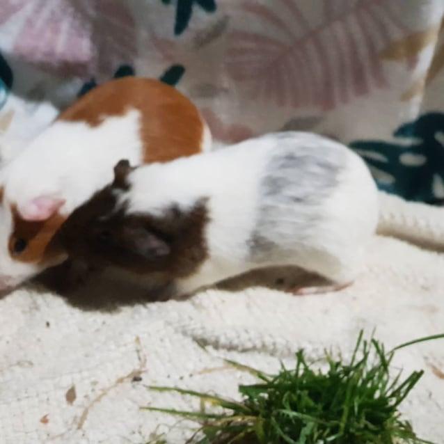 Photo of Gavin (Lab Release Piggy   Buddy Of Knox)