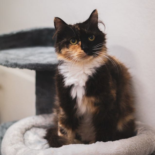 Photo of Duchess ~ 5 Year Old Cat (On Trial 30/5/20)