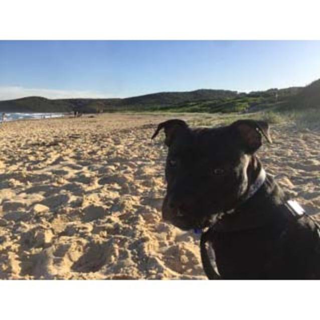 Photo of Billy ~ Sweet 10mo Staffy X Puppy