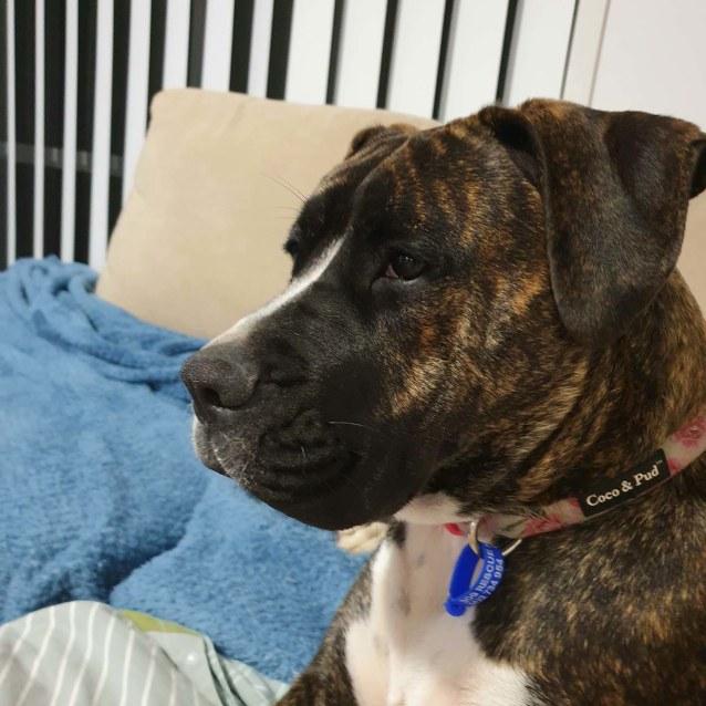 Photo of Layla ~ 8mo Boxer X Mastiff X Dane (Pend Trial 5/6/20)